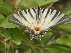 La cartolina (diemmarig) Tags: psidiumguajava scarceswallowtail iphiclidespodalirius pascoli cartolinalenta