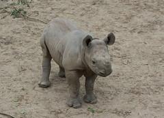 lulu listens - Cleveland Zoo (Tim Evanson) Tags: clevelandzoo clevelandmetroparks clevelandmetroparkszoo clevelandohio zoo dicerosbicornismichaeli easternblackrhino rhino blackrhino