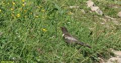 Merle à plastron (fr) - Turdus torquatus (Linnaeus, 1758) - Ringdrossel (de) - Ring ouzel (en) (patrick68110) Tags: oiseau rocher plume aile ngc