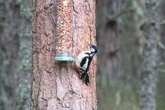 great spotted woodpecker Loch Garten RSPB reserve 200518 (Dan86401) Tags: nature natural scotland cairngorms highlands greatspottedwoodpecker dendrocoposmajor bird wildlife animal picidae picinae lochgartenrspbreserve