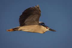 Black-crowned night heron flyby (bodro) Tags: bif bolsachica bird birdinflight birdphotography blackcrownednightheron ecologicalreserve egret featherdetails lastraysofsun lateafternoonlight shallows wetlands wingsup