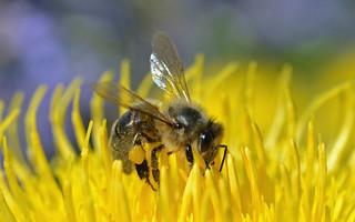 Honey bee on giant knapweed - Centaurea macrocephala {explored}