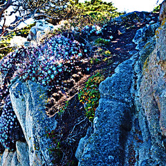 Flowers on the rock-DSC_3451 copy (nokhum.markushevich) Tags: flowers rock nature pointlobos