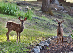Fawn-A-Thon 2018 - Eastern Oregon (Electric Crayon) Tags: fawn deer pacificnorthwest oregon easternoregon wallowacounty usa unitedstates america nature outdoors animal summer electriccrayon patrickmcmanus
