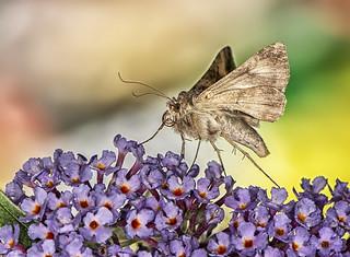 85O_2381 Moth