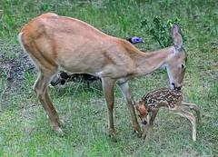 Turkey Photo Bomb (Philip Kuntz) Tags: fawn doe newbornfawn whitetailfawn whitetaildeer turkey henturkey curiousturkey wildlife nature seenfrommydenwindow