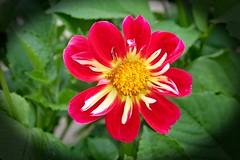 Dahlia! (Uhlenhorst) Tags: 2018 germany deutschland bavaria plants pflanzen flowers blumen blossoms blüten bayern ngc npc