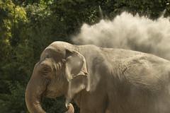 Aziatische Olifant - Blijdorp - Rotterdam (Jan de Neijs Photography) Tags: tamron tamron150600 tamron150600g2 g2 blijdorp diergaardeblijdorp zoo dierentuin dier animal rotterdamzoo dierenpark rotterdam rotterdamsediergaarde diergaarde 150600 nl nederland holland dieniederlande thenetherlands southholland zuidholland olifant elephant aziatischeolifant aziatisch elephasmaximus