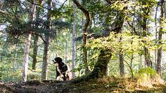 Mali up at the Outwoods (Captain192) Tags: dog dogs collie spaniel spanielcolliecross bordercollie sprollie outwoods theoutwoods trees woods leaves sunlight morning shade walking dogwalking walks