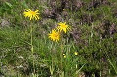 Étang de Labant (Ariège) (PierreG_09) Tags: ariège pyrénées pirineos couserans auluslesbains coumebière labant étang lac étangdelabant flor flore fleur plante arnicadesmontagnes arnicamontana