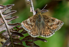 JWL5141  Dingy Skipper.. (jefflack Wildlife&Nature) Tags: dingyskipper skipper skippers lepidoptera butterflies butterfly insects insect wildlife wetlands woodlands wildlifephotography heathland hedgerows moorland marshland meadows marshes heathlands heaths countryside glades jefflackphotography nature grasslands ngc npc