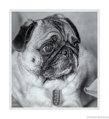 Listens to Wrap....Per. (Robert Streithorst) Tags: dog gx85 mono norman pug robertstreithorst