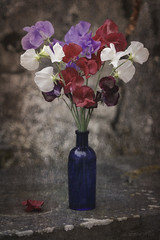 Sweet Life (shawn~white) Tags: 100mm lathyrusodoratus shawnwhite beauty blue charm floral flower nostalgia peaceful purple red reminisce reminiscing restorative retro romantic stilllife sweetpea texture vintage violet