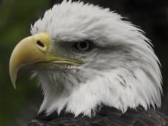 Bald Eagle profile pose, Columbus Zoo. (arthuroleary) Tags: bird birdphotography eagle baldeagle ohio zoo animal wildlife photography superzoom nikonp900