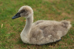 Young Cygnet , taken at victoria park lake, widnes, cheshire, england (Barry Miller _ Bazz) Tags: wildfowl wildlife nature outdoorphotography cygnet swan bird widnes victoriapark 50mm dslr canoncamera sigmaart