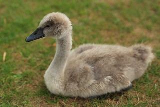 Young Cygnet , taken at victoria park lake, widnes, cheshire, england
