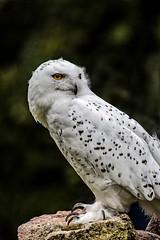 Snowy Owl (deewerner55) Tags: birdsofprey birds owl snowyowl