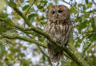 JWL0225  Tawny Owl..