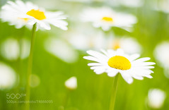 Sunny side up by jarvyboy (#AggieLife) Tags: ifttt 500px beauty colour daisies flowers love nature summer sunny vibrant green unity white yello