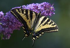 Tiger Swallowtail (Snixy_85) Tags: butterfly tigerswallowtail butterflybush