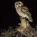 19th July 2018 Tawny Owl (Alan McFadyen) Tags:
