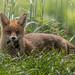 Fox (MarkBee3) Tags: