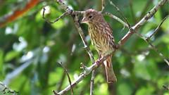Female House Finch (Suzanham) Tags: housefinch female bird nature wildlife songbird mississippi starkville tree perching fringillidae haemorhousmexicanus