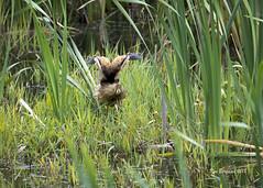 American bittern (wandering tattler) Tags: bird wildlife wader bittern americanbittern american heron marsh wetland newhampshire 2018