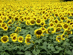Gialle distese estive (Eli.b.) Tags: girasoli campi giallo yellow sunflowers fiori flowers fleurs natura nature estate summer fiore colori