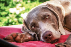 Saturday Snoozer (Neil_Wagner) Tags: dog weimaraner portrait outdoors sun shade nap boo cute beautiful