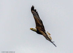 2018.06.23.0490 Gliding (Brunswick Forge) Tags: 2018 grouped bird birds outdoor outdoors animal animals animalportraits eagle nikond500 tamron150600mm summer virginia water river commented favorited eagles