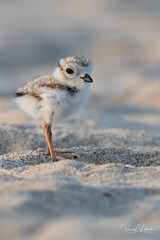 Piping Plover | 2018 - 32 (RGL_Photography) Tags: birding birds birdwatching charadriusmelodus chick endangeredspecies gardenstate gatewaynationalrecreationarea hatchling jerseyshore monmouthcounty mothernature newjersey nikonafs600mmf4gedvr nikond500 ornithology pipingplover plover sandyhook shorebirds us unitedstates wildlife wildlifephotography
