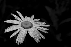 185-365  #nikonpassion365 (bebopeloula) Tags: nikonpassion365 photorobertcrosnier 2018 365 89 bleignylecarreau bourgogne europe france nikond5100 yonne extérieur grosplan jardin marguerite noiretblanc pluie