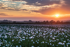 Sunset over the Opium Poppies (C Sinclair) Tags: poppies opiumpoppies dorsetpoppies poppyfield field agriculture rural