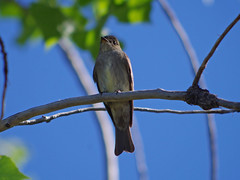 Western Wood-Pewee (Boulder Flying Circus Birders) Tags: westernwoodpewee contopussordidulus westernwoodpeweecolorado westernwoodpeweeboulder wildbirdboulder wildbirdcolorado boulderflyingcircusbirders freebirdwalk saturdaymorningbirders waldenpondswildlifehabitat bouldercountyopenspace sawhillponds cityofboulderopenspaceandmountainparks colorado gunbarrel clarkanderson