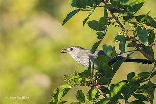 Gray Catbird 500_7321.jpg