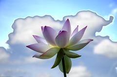 Real lotus fake sky (Tim Brown's Pictures) Tags: nationalparkservice kenilworthaquaticgarden aquaticplants washingtondc blossom flower washington dc unitedstates