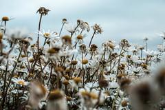 End of life (Wouter de Bruijn) Tags: fujifilm xt2 fujinonxf35mmf14r flower flowers daisy daisies flora nature bokeh depthoffield outdoor herbal walcheren zeeland nederland netherlands holland dutch