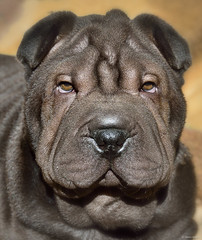 My Shar-Pei puppy (Martin_Heigan) Tags: raurus sharpei portrait 3months d7000 nature nikon martin heigan mph3871 baby cute pets dog wrinkles southafrica puppy june2018 face chinesesharpei mansbestfriend animal dogs greatdogs purebreed eyes eyecontact ambereyes browneyes