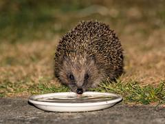 Hedgehog (ian._harris) Tags: d750 tamron 150600g2 naturaleza nature natural naturephotography nikon hedgehog july garden
