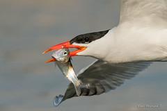 Gulp, this is not going well.. (Earl Reinink) Tags: bird animal fish fishing sky water tern caspiantern earl reinink earlreinink outside outdoors nature macro flying ootdhaidza