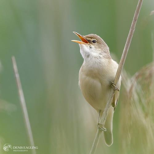 Reed warbler (taken in May)