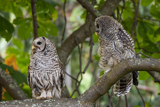 barred owls victoria bc