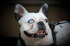 DAYDO (K.Verhulst) Tags: daydo bulldog pet huisdier hond dog ommoordseveld frenchbulldog fransebulldog coth5