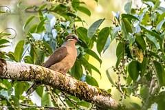 White-eared Brown Dove (Rodolfo Quinio) Tags: whiteearedbrowndove nikond500 tamron150600mm sierramadremountainrange quezonphilippines bird dove nature wildlife pigeon 170