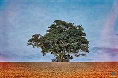 The Mighty Amongst the Corn (pm69photography.uk) Tags: clyststgeorge trees tree hdr on1 southwest sonya7r3 sonya7riii sony70200mmf4 70200mm devon cornfield moody atmospheric atmosphere artistic ilce7rm3 ilovedevon lightleak