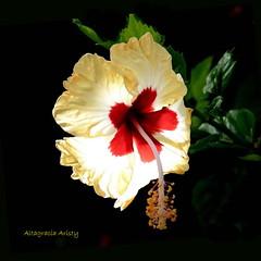 Contraluz/Back Light (Altagracia Aristy Sánchez) Tags: hibisco hibiscus cayena laromana quisqueya repúblicadominicana dominicanrepublic caribe caribbean caraibbi antillas antilles trópico tropic américa fujifilmfinepixhs10 fujifinepixhs10 fujihs10 altagraciaaristy blackbackground fondonego sfonñdonero contraluz backlight