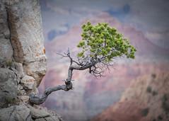 Grand Canyon-7528-Edit (Michael-Wilson) Tags: grandcanyon arizona southwest tree michaelwilson pinetree cliff nature vegetation