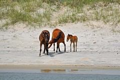 Wild Horses, Outer Banks, NC (hatchski) Tags: outerbanks nc north carolina wild horses herd nature barrier islands water beach coast horse