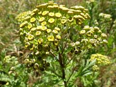 ............. (four-hearts) Tags: wildblumen wildpflanzen pflanzen sommer blumen blüten natur